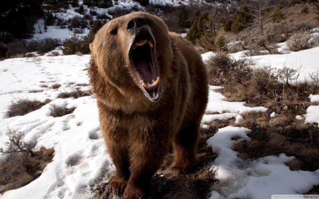 1920x1080 pix. Wallpaper bears, animals, nature, teeth, snow, roar