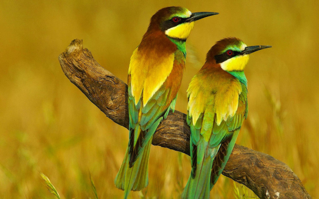 3000x1688 pix. Wallpaper bird, bee-eater, branch