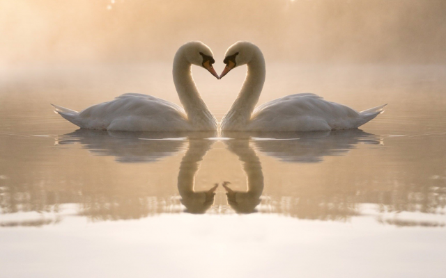 1920x1080 pix. Wallpaper swans, love, birds, nature, animals, reflection, pond, lake, fog