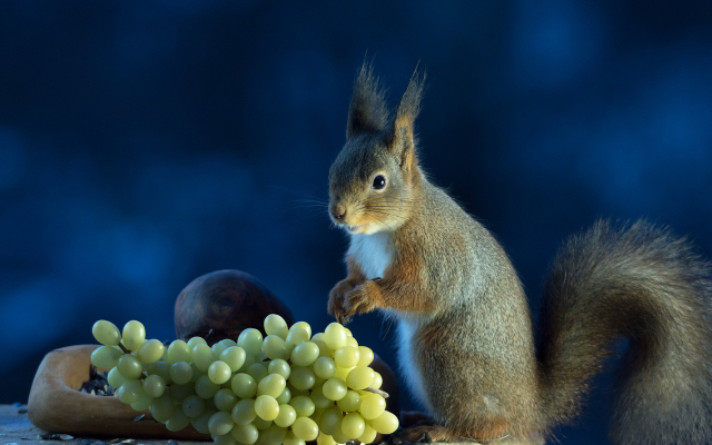 1920x1200 pix. Wallpaper animals, squirrel, grapes, food