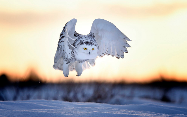 2000x1333 pix. Wallpaper animals, owl, snow, winter, sunset