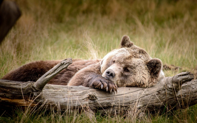 2048x1367 pix. Wallpaper animals, bears, log, sleeping