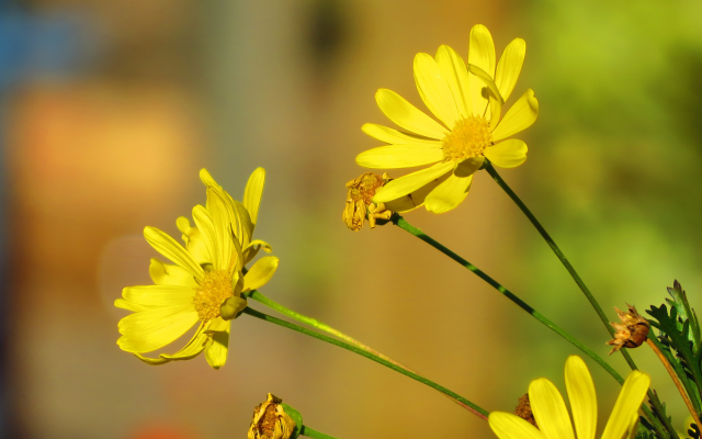 4000x2248 pix. Wallpaper flowers, yellow flowers, bees, nature