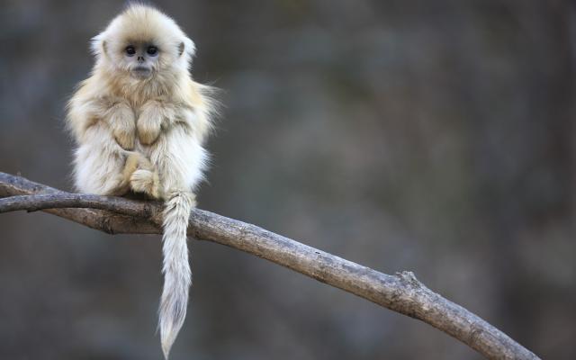 Snub Monkey | Bonpic.com