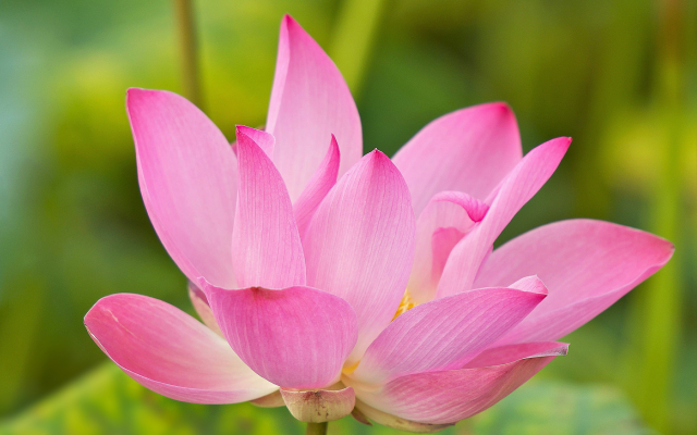 2048x1365 pix. Wallpaper lotus, water lily, flowers, petals, nature