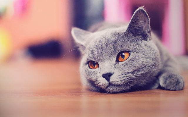 2560x1600 pix. Wallpaper cat, russian blue, animals, eyes