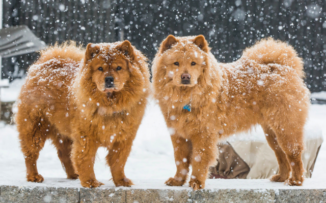 Wallpapers chow chow, dog, snow, winter, animals