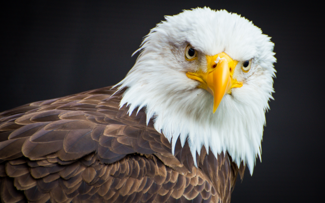 2048x1367 pix. Wallpaper bald eagle, bird, animals, predator