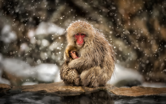 wallpapers japanese macaque macaca fuscata snow monkey