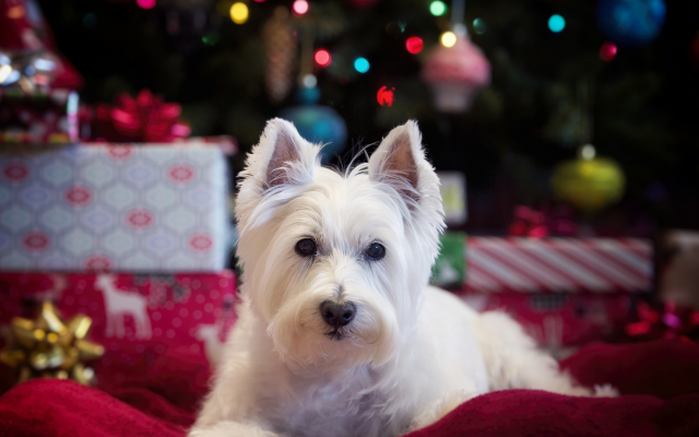 Wallpaper west highland white terrier, dog, holidays, christmas, new year, animals