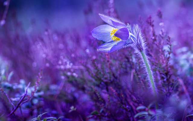 2048x1365 pix. Wallpaper pasqueflower, spring, flower, cowslip, nature