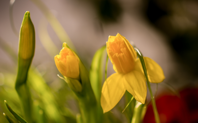 2048x1418 pix. Wallpaper daffodils, bud, sprong, macro, bokeh, flowers, nature