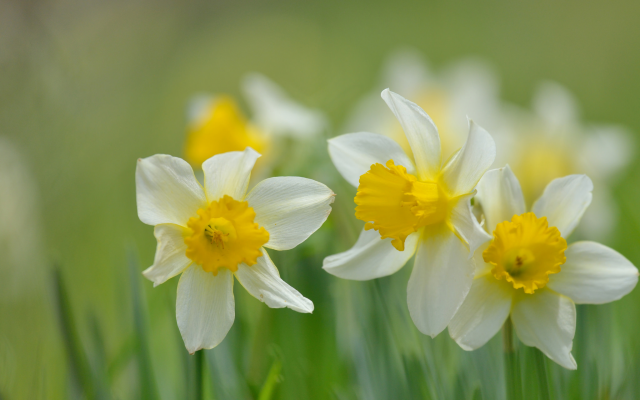 2048x1365 pix. Wallpaper narcissus, daffodils, flowers, bokeh, nature