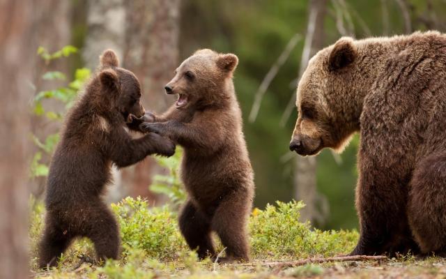 Разыгрались медвежата...распотешилися