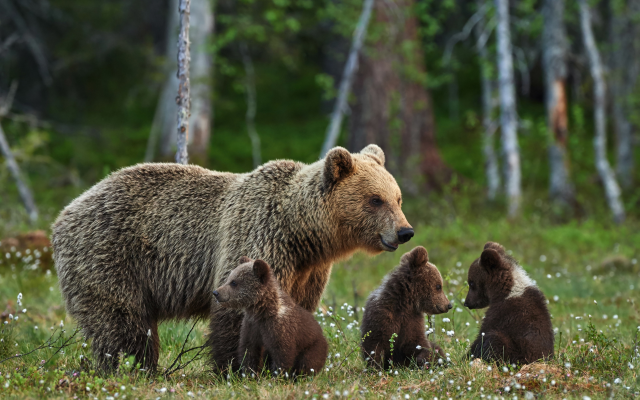 4140x2752 pix. Wallpaper bears, bear, bears family, brown bear, forest, animals, bear cubs