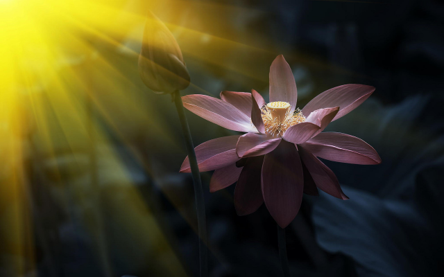 1920x1200 pix. Wallpaper pink, lotus, sunny, light, flowers, nature