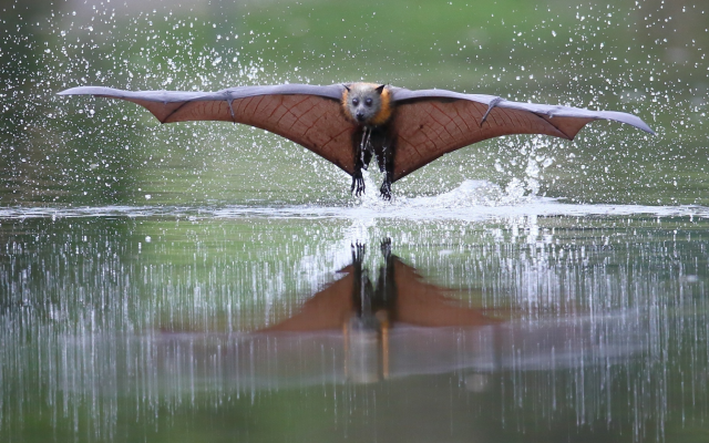 2048x1162 pix. Wallpaper flying fox, animals, flight, water, splash, wings