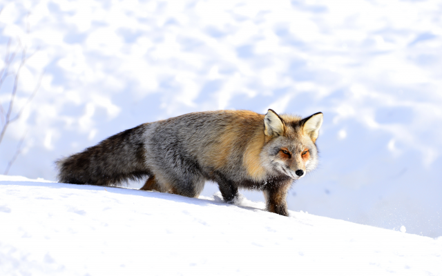 4500x3004 pix. Wallpaper fox, nature, winter, snow, animals