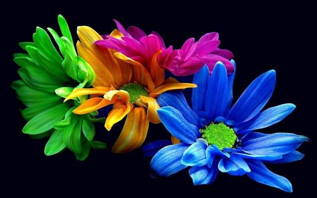 2560x1600 pix. Wallpaper chrysanthemums, colors, flowers, black background, nature