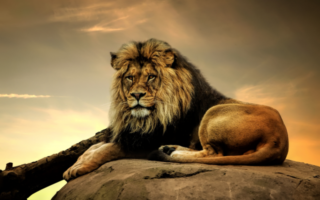 2560x1599 pix. Wallpaper lion, predator, king of beasts, animals