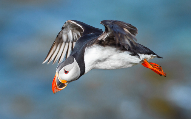 2048x1152 pix. Wallpaper bird, puffin, animals