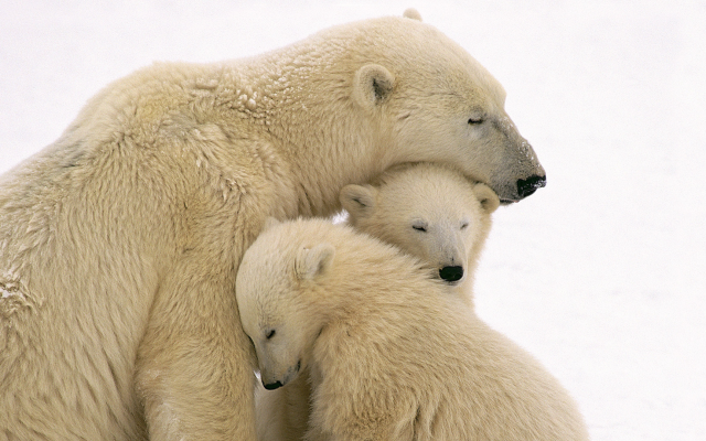 1920x1080 pix. Wallpaper animals, polar bear, family, bear cubs, bear