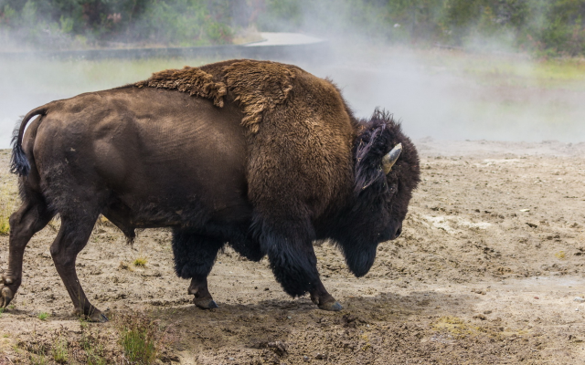 1920x1080 pix. Wallpaper buffalo, animals, dirt