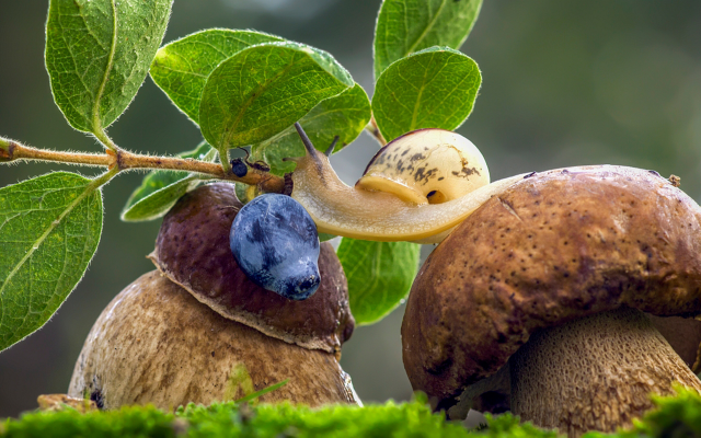 1980x1219 pix. Wallpaper mushroom, nature, boletus, snail, leaves, berry, blueberry, macro