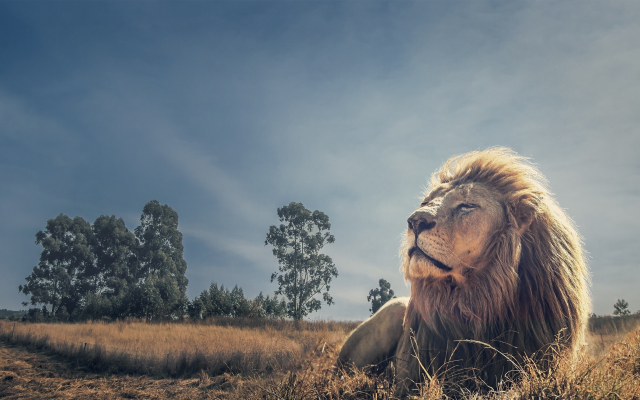 2790x1663 pix. Wallpaper lion, predator, animals