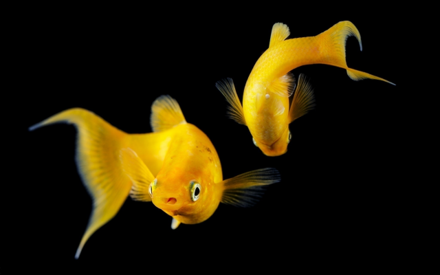 2048x1365 pix. Wallpaper aquarium, goldfish, dark background, fish, animals