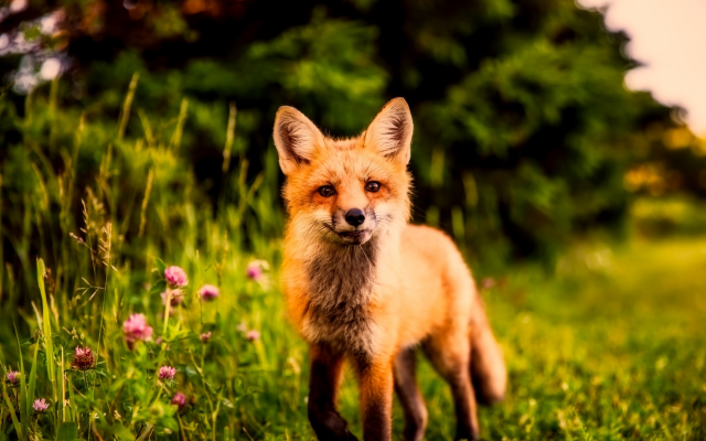 2000x1333 pix. Wallpaper nature, summer, animal, fox, grass, clover