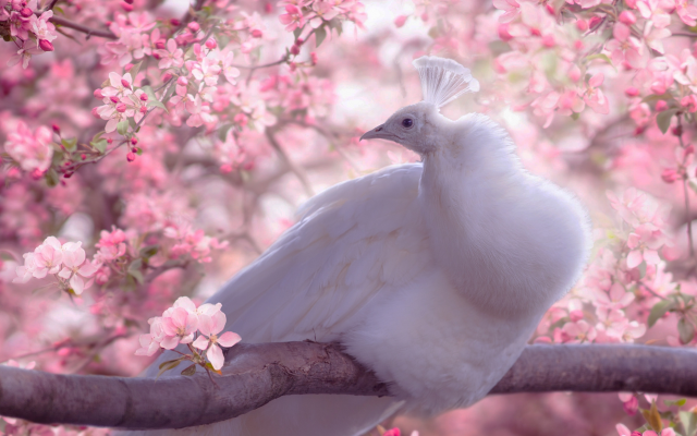 2048x1234 pix. Wallpaper birds, peacock, nature, spring, tree, apple, branche, blossom, flowers, animals