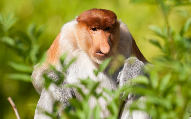 2560x1707 pix. Wallpaper proboscis monkey, animals, monkey
