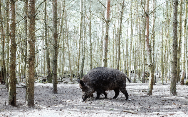 2560x1696 pix. Wallpaper wild boar, forest, trees, boar, animals