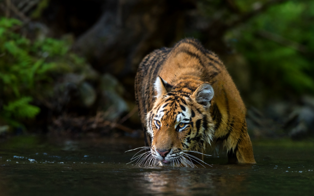 2048x1365 pix. Wallpaper animals, tiger, river, water