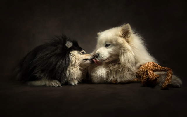 4139x2763 pix. Wallpaper animals, dogs, couple, tenderness, affection, kiss