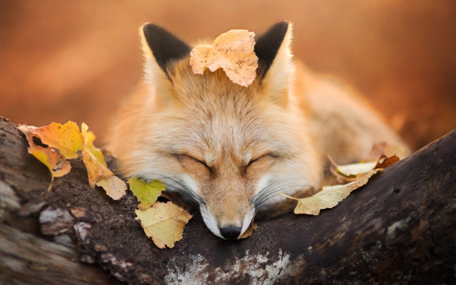 2048x1365 pix. Wallpaper fox, autumn, leaf, animals