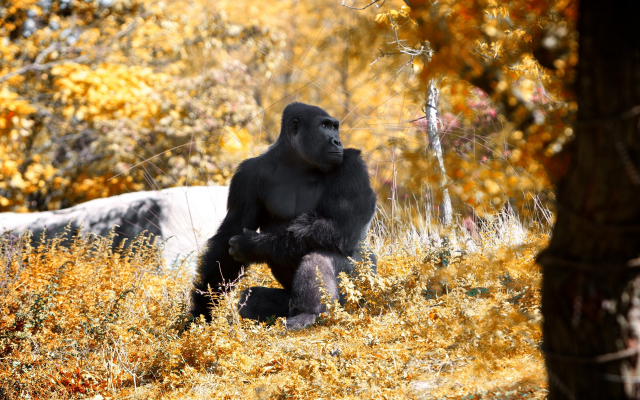 2560x1600 pix. Wallpaper gorilla, animals, monkey, autumn