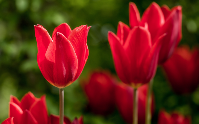 2048x1367 pix. Wallpaper flowers, macro, tulips, red flowers, nature