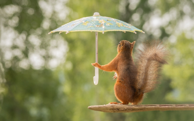 1920x1200 pix. Wallpaper animals, squirrel, funny, umbrella