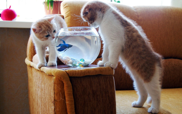 1920x1200 pix. Wallpaper kittens, animals, cat, aquarium, fish