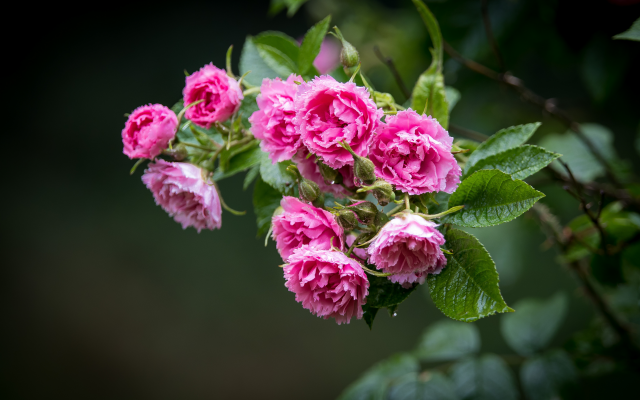 4779x3186 pix. Wallpaper garden roses, flower, nature, rose