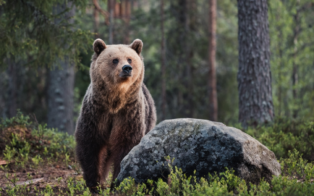 1920x1349 pix. Wallpaper brown bear, animals, forest, bear