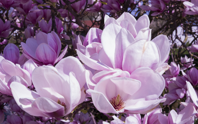 3840x2160 pix. Wallpaper magnolia, flowers, pink, petals, nature