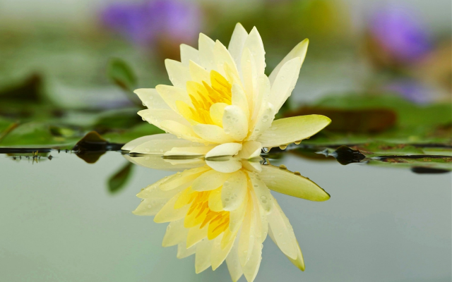 1920x1200 pix. Wallpaper lotus, lake, water, reflection, flowers, water lilly, nature