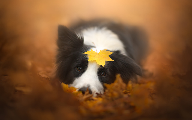 2000x1333 pix. Wallpaper animals, dog, leaves, autumn, fall, dog, muzzle