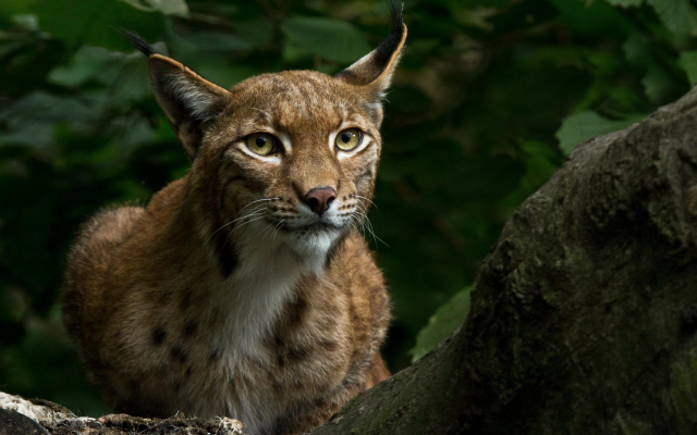 2048x1365 pix. Wallpaper foliage, lynx, animals