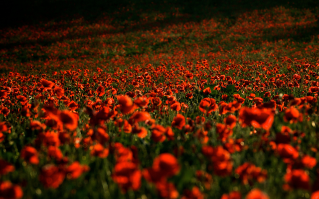 4542x3028 pix. Wallpaper poppies, field, red flowers, flowers, nature, poppy