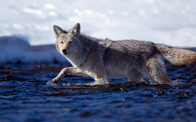 1920x1080 pix. Wallpaper coyote, winter, river, cold, water, animals