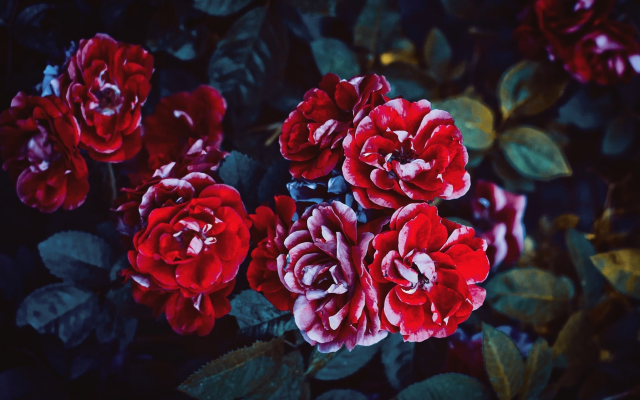 1949x1363 pix. Wallpaper bush, nature, rose, flowers, red roses